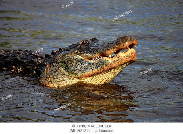American Alligator (Alligator mississippiensis), adult, in water, Florida, USA, America