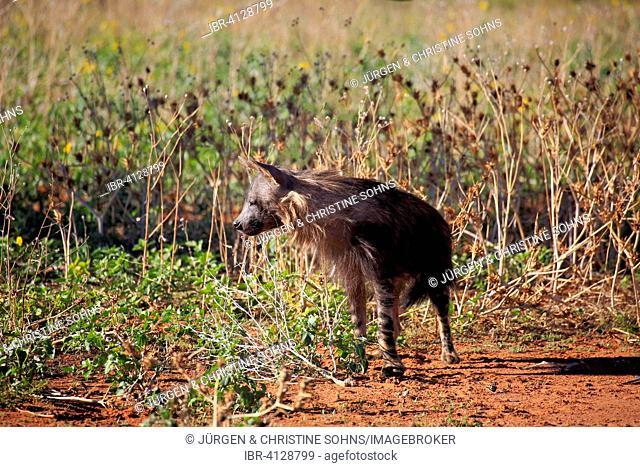 Brown Hyena (Parahyaena brunnea, Hyaena brunnea), adult, Tswalu Game Reserve, Kalahari, North Cape, South Africa