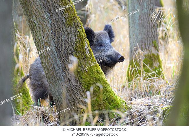 Wild boar (Sus scrofa), Female, Hesse, Germany, Europe