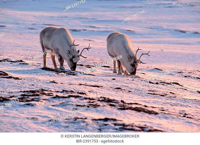 Svalbard Reindeer (Rangifer tarandus platyrhynchus) looking for food in the snow, sunrise in mid-April, Adventdalen, Longyearbyen, Spitsbergen, Svalbard, Norway