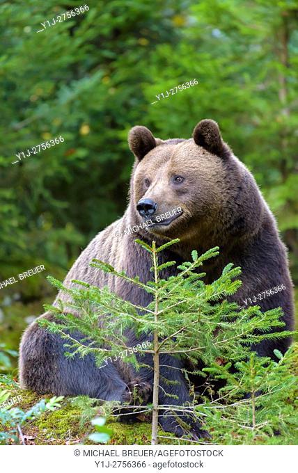 European Brown Bear, Bavarian Forest National Park, Bavaria, Germany, Europe