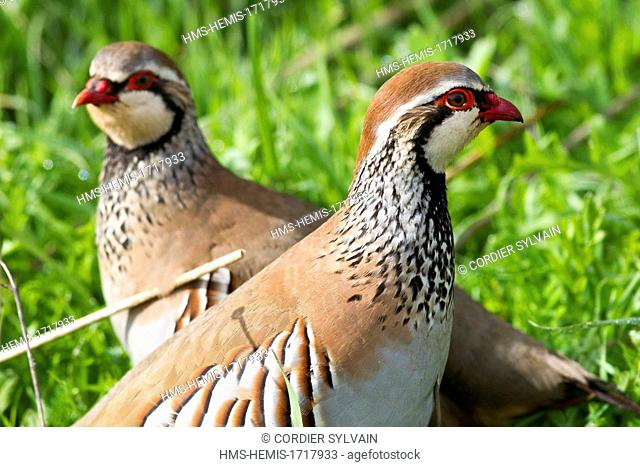 Spain , Castilla La Mancha , surroundings of Guadalajara , Red Partridge (Alectoris rufa )