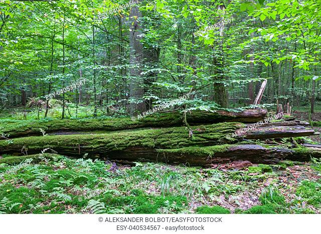 Fresh deciduous stand in summertime with dead broken oak in foreground moss wrapped,Bialowieza Forest,Poland,Europe