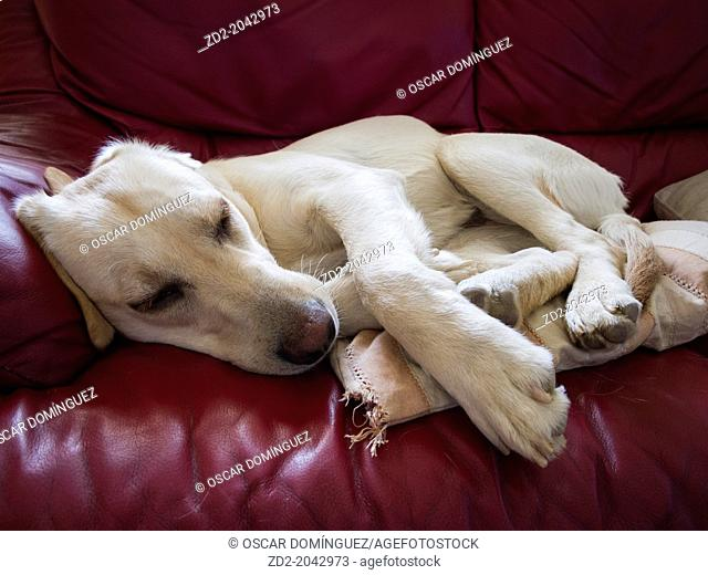 Female labrador Retriever resting on couch. Barcelona. Catalonia. Spain