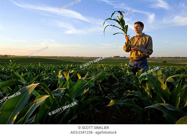 Agriculture - A young farmer inspects a mid growth corn plant in the field in late afternoon light / Iowa, USA