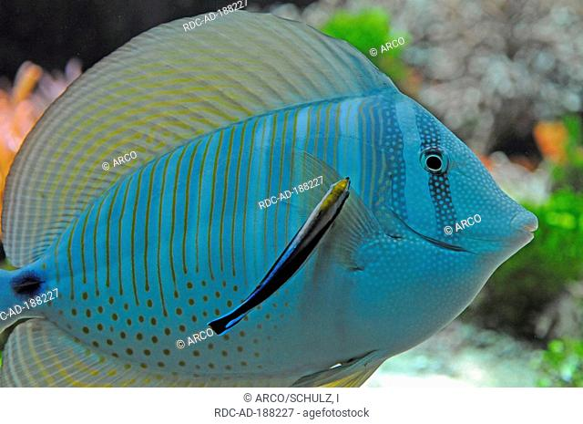 Desjardin's Sailfin Tang and Common Cleaner Wrasse, Zebrasoma desjardinii, Labroides dimidiatus, Indian Sail-fin Surgeonfish, Red Sea Sailfin Tang