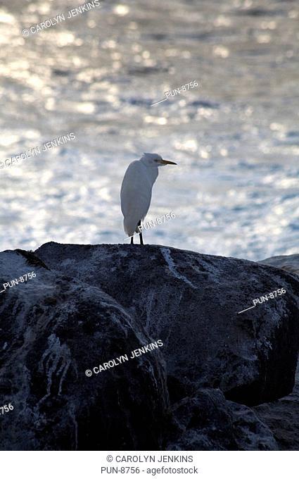 Great white egret Casmerodius albus standing on rocks in the evening light at Punta Suarez, Espanola Island