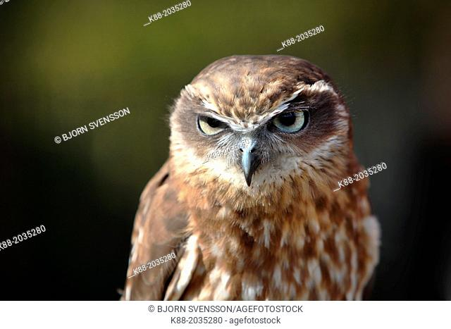 Southern Boobok Owl(Ninox novaeseelandiae)in captivity. Queensland, Australia