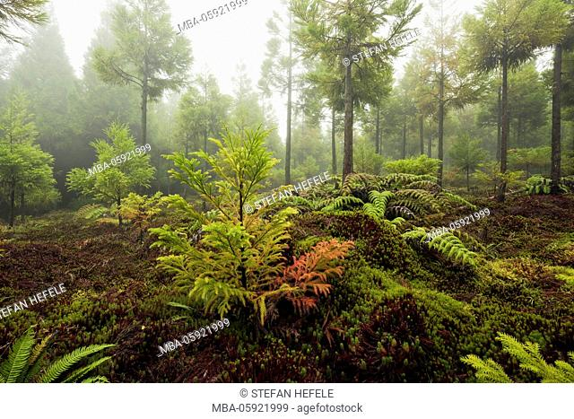 Forest on Sao Miguel, the Azores, Portugal