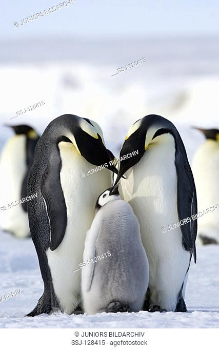 two emperor penguins wiht cub - Aptenodytes forsteri