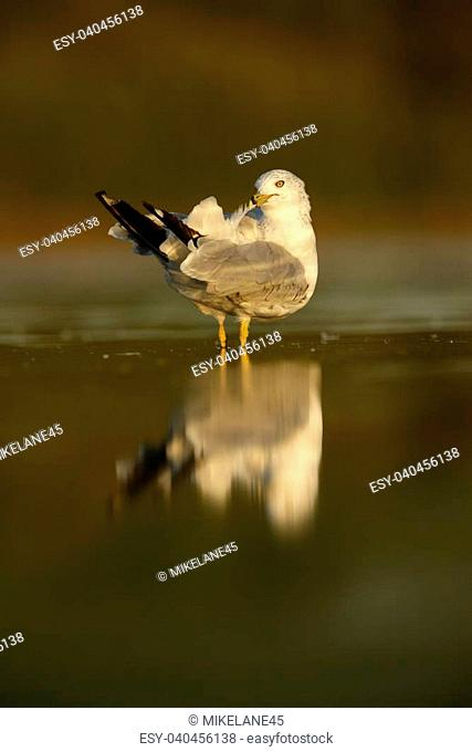 Ring-billed gull, Larus delawarensis, New York, USA