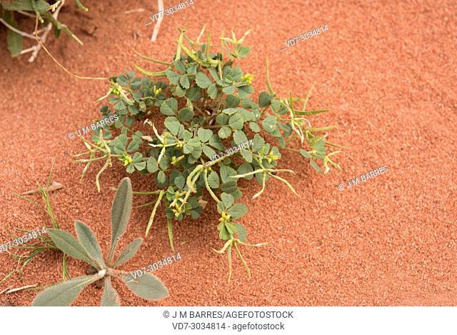 Star fenugreek (Trigonella stellata) is an annual herb native to north Africa, western Asia and Spain. This photo was taken in Wadi Rum Desert, Jordan