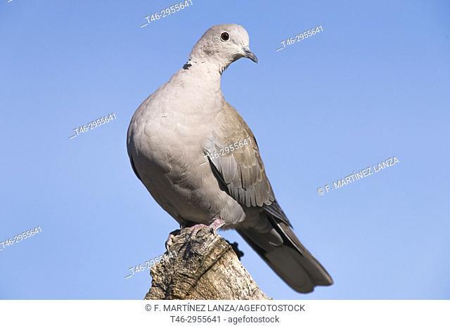 Turtle dove (Streptopelia decaocto). Parque Regional del Río Guadarrama, Leganes, Madrid province, Spain