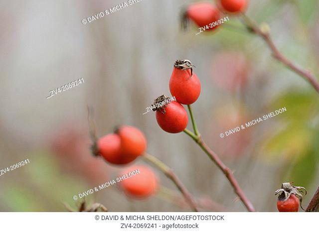 Close-up of rose hips from a dog rose (Rosa canina) in autumn