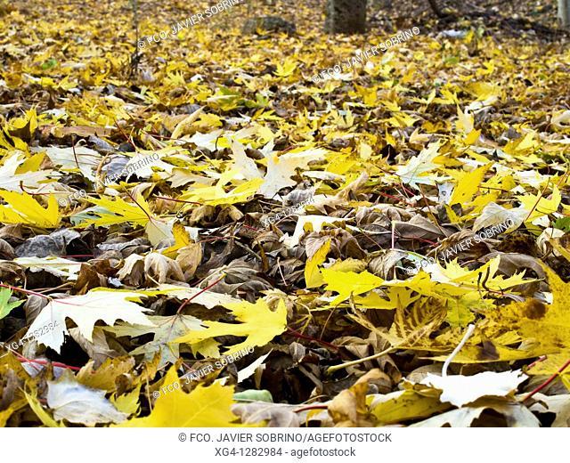 Poplar populus alba leaves in autumn in a park Berceo - La Rioja - Spain