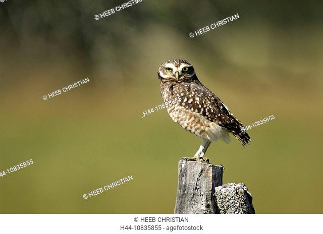 10835855, Argentina, South America, Burrowing Owl, Athene cunicularia, Carlos Pellegrini, Corrientes, one, bird, owl