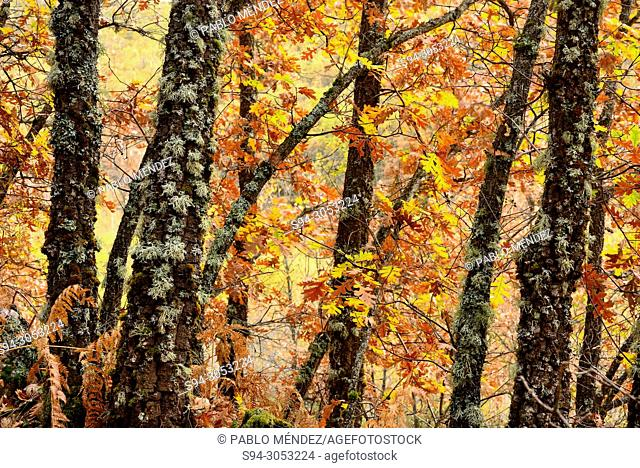 Trunks of oaks (Quercus) in La Quesera mountain pass, Riaza, Segovia, Spain