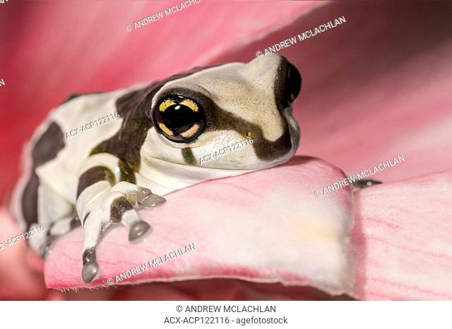 Amazon Milk Frog (Trachycephalus resinifictrix) - captive bred