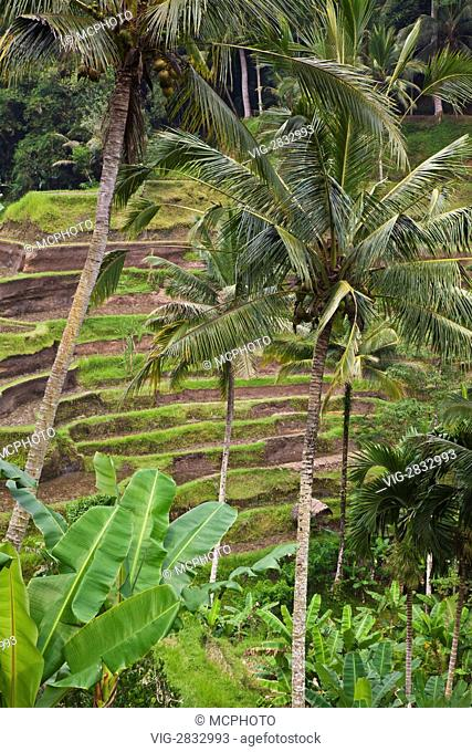 The CEKING RICE FIELD TERRACES with COCONUT PALMS not far from UBUD - BALI, INDONESIA - 02/12/2010