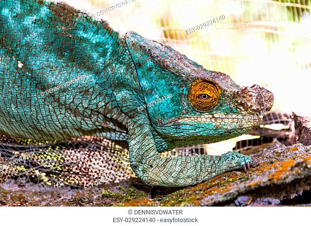 Beautiful camouflaged chameleon in Madagascar, presumably the Parsons chameleon (Calumma parsonii)