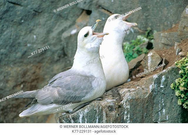 Fulmar (Fulmarus glacialis), displaying couple. Iceland