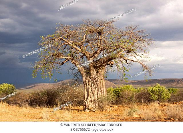 Baobab Tree (Adansonia digitata), Kunene Region, Namibia