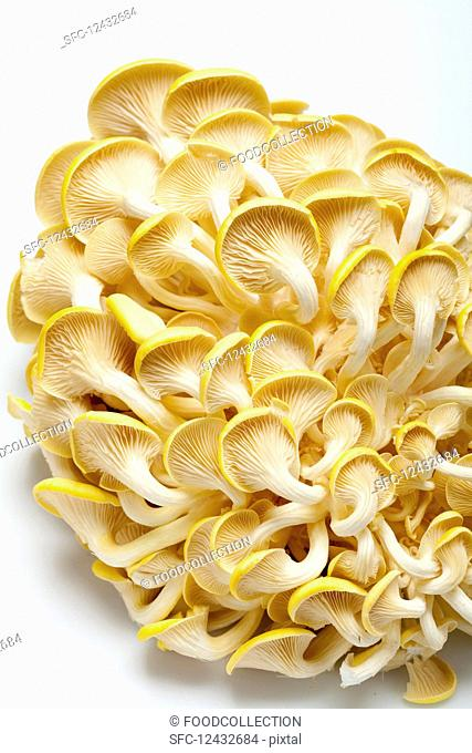 Lemon mushrooms on a white surface (from below)