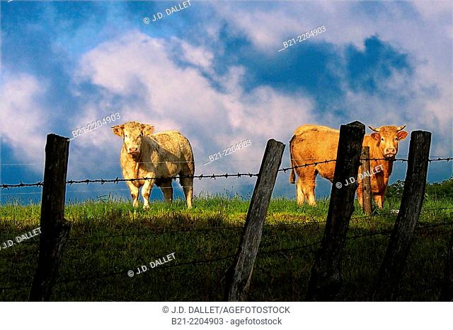 Cattle land near Maurs, Cantal, Auvergne, France