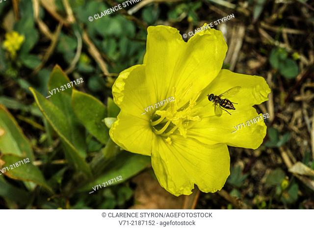 Taxomerus Hover Fly (Taxomerus sp.) Feeding on Evening Primrose (Oenothera biennis)
