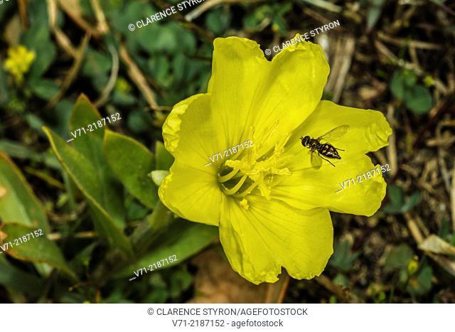 Taxomerus Hover Fly (Taxomerus sp.) Feeding on Evening Primrose (Oenothera biennis)