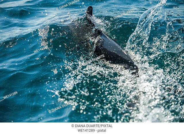 """"""""""" Dolphin"""" (Tursiops truncates),The ancient Greeks believed these dolphins would save people from drowning and protect them from sharks; it is true that..."