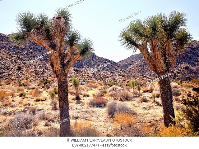 Joshua Trees Landscape Yucca Brevifolia Mojave Desert Joshua Tree National Park California Named by the Mormon Settlers for Joshua in the Bible because the...