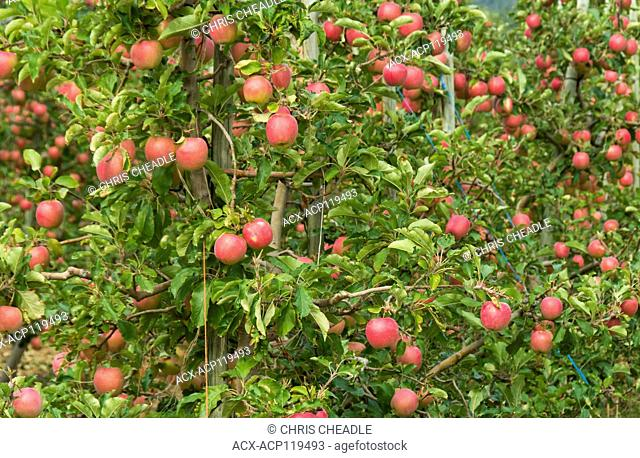 Orchards, Naramata bench, Okangan Valley, British Columbia, Canada