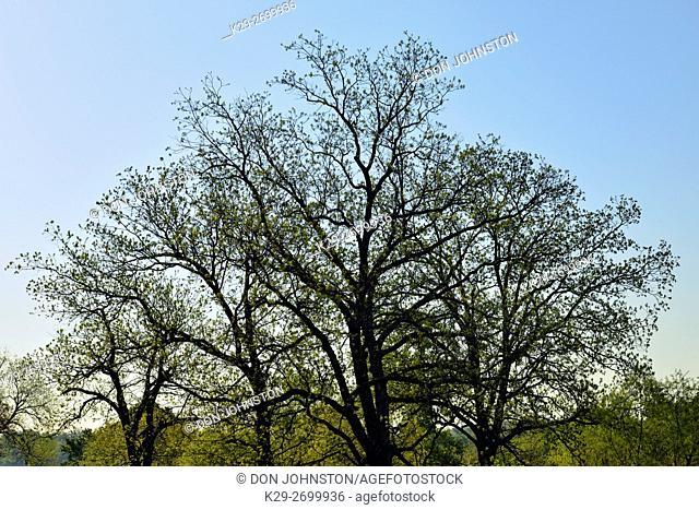 Pecan trees, Kellyville, Oklahoma, USA