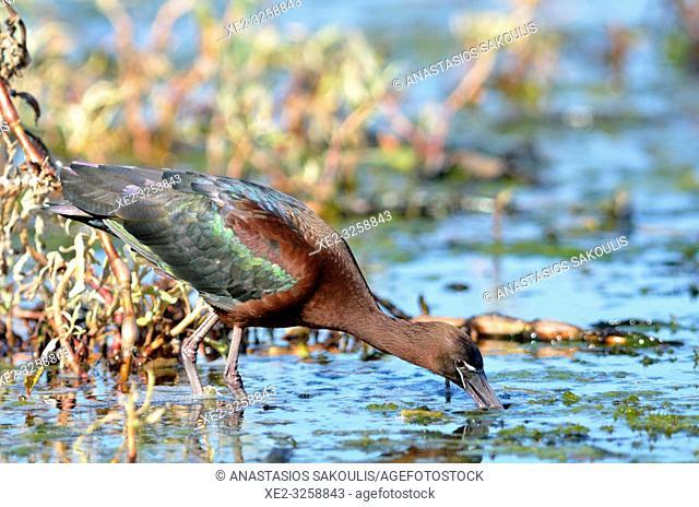 Glossy Ibis - Plegadis falcinellus, Crete