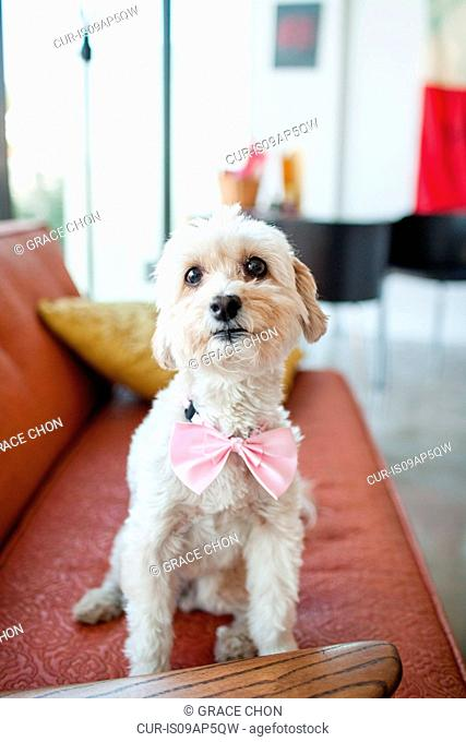 Portrait of cute dog wearing pink bow sitting on living room sofa