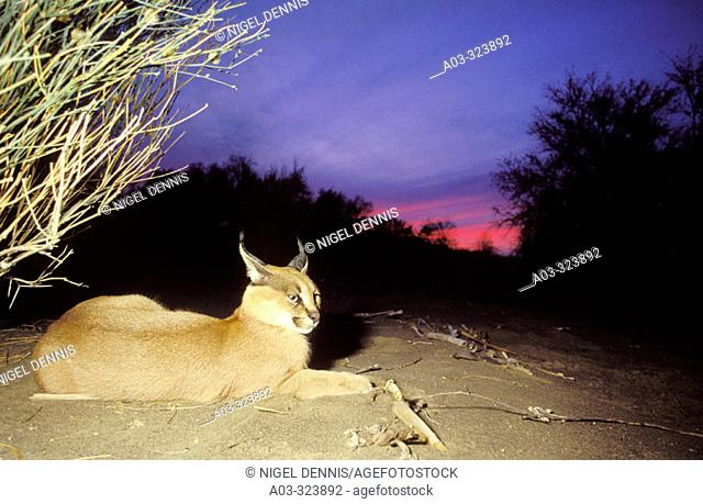 Caracal (Felis caracal) at dusk. Augrabies Falls National Park, N. Cape. South Africa