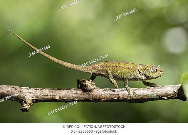 Cryptic Chameleon (Calumma crypticus), (Chameleonidae), endemic to Madagascar, Anjozorobe Nationalpark, Madagascar