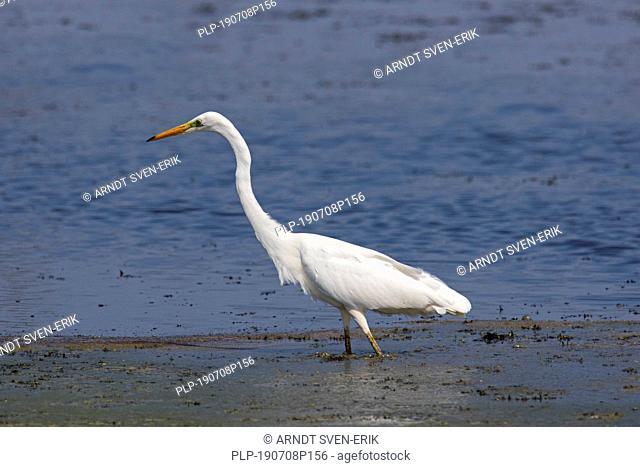 Great egret / common egret / great white egret (Ardea alba / Egretta alba) fishing in shallow water of lake
