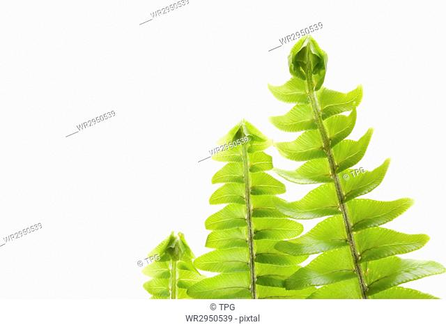 fresh new leaf in a row, green concept,Tuberous Sword Fern
