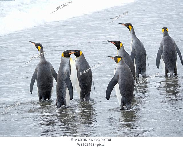 King Penguin (Aptenodytes patagonicus) on the island of South Georgia, the rookery on Salisbury Plain in the Bay of Isles. Adults entering the sea