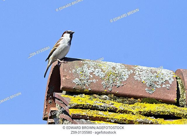 Housesparrow (Passer domesticus), East Sussex, UK