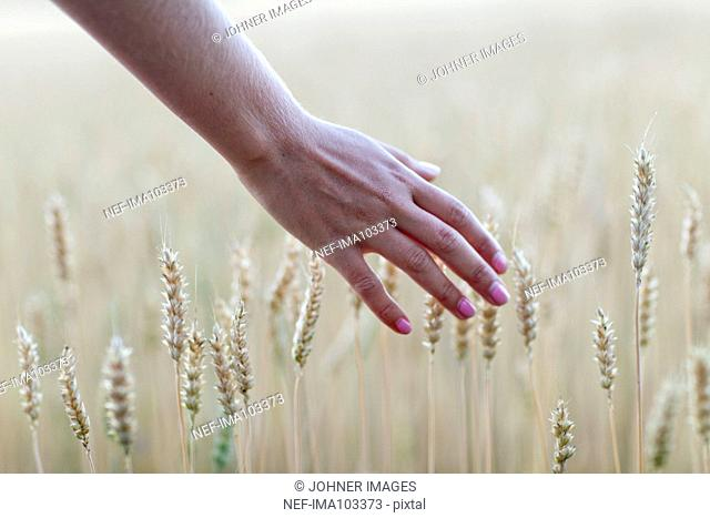 Human hand and wheat field, close-up