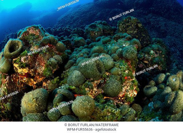 Green Sponge Ball Algae, Codium bursa, Svetac, Adriatic Sea, Croatia