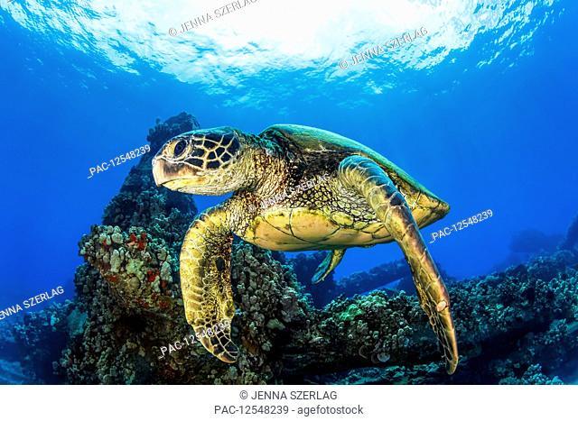 Hawaiian Green sea turtle (Chelonia mydas) swimming in clear, blue water; Lahaina, Maui, Hawaii, United States of America
