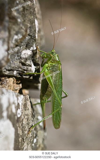 Great Green bush-cricket Tettigomia viridissima Sark, British Channel Islands, UK