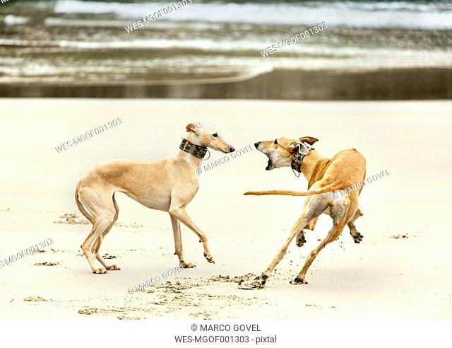 Spain, Llanes, two greyhounds playing on the beach