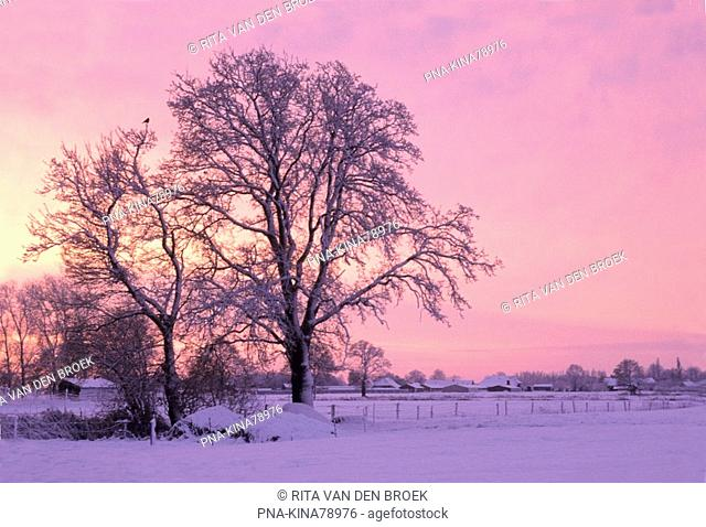 Oak Quercus - Chaam, North Brabant, The Netherlands, Holland, Europe