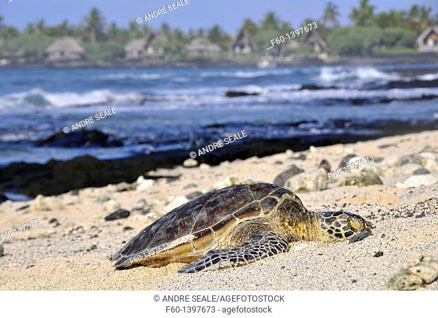 Green sea turtle, Chelonia mydas, resting in the beach, Kona, Big Island, Hawaii, USA