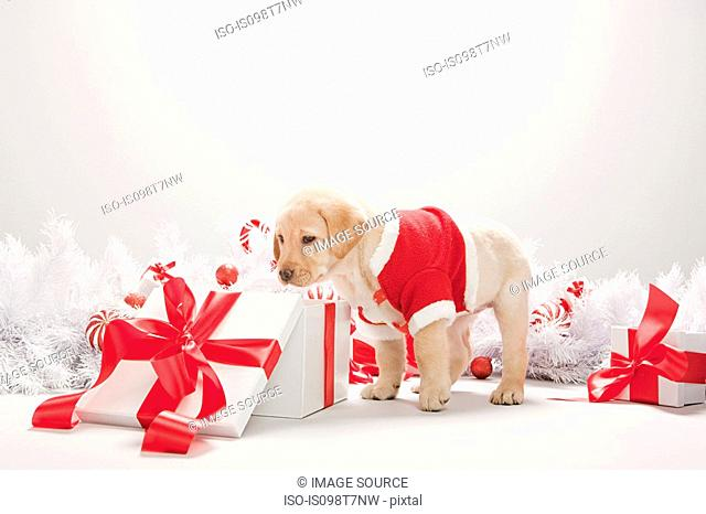 Labrador puppy looking in christmas gift box